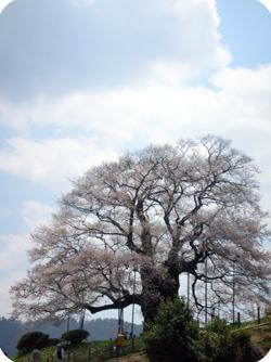 真庭の醍醐桜