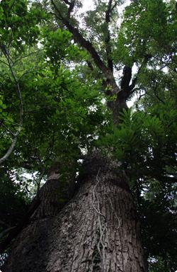 店裏の大樹